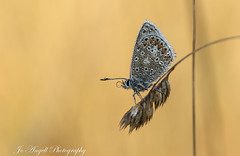 Common Blue (jo.angell) Tags: common blue butterfly dew meadow grass macro wildlife nature wild