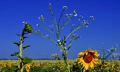 Fin de l'été (Diegojack) Tags: vaud suisse echandens d500 nikon nikonpassion automne tournesols fleurs prairie jaune bleus campagne patchwork groupenuagesetciel
