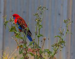 Crimson Rosella (Merrillie) Tags: parrot nsw blue red rosella australia gresford parrots bird birds black animals fauna crimsonrosella newsouthwales animal