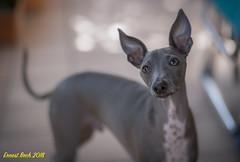 85 mm. (Ernest Bech) Tags: gos dog perro happy llebreritalià italiangreyhound