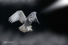 Snowy Owl_T3W2823 (Alfred J. Lockwood Photography) Tags: alfredjlockwood nature bird flight landing snowyowl canadianraptorconservancy crc ontario canada morning autumn