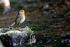 rougegorge familier ( Erithacus rubecula ) Brech 180903g2 (papé alain) Tags: oiseaux passereaux muscicapidés rougegorgefamilier erithacusrubecula europeanrobin brech bretagne france