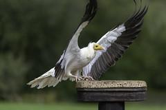 Walk Like an Egyptian (Hemzah Ahmed) Tags: vulture bird egyptianvulture egypt egyptian birdsofprey birdofprey wing wings wingspan feather feathers canon100400mmf4556lisiiusm