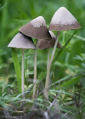 Psathyrella conopilus (De Hollena) Tags: champignon conicalbrittlestem langsteelfranjehoed mushroom paddenstoel pilz psathyrellaconopilus toadstool