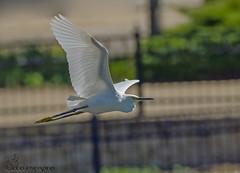Snowy Egret. (Estrada77) Tags: snowyegret egrets inflight wildlife summer2018 sep2018 foxriver kanecounty outdoors nikon nikond500200500mm nature birds birding