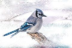 Blue Jay Snow (Patti Deters) Tags: blue bird cold snowing jay songbird winter background white tail feathers cristata animal wildlife fauna birding nature cyanocitta avian wild wings backyard perched bluebird bright profile crest eye beak ornithology feather corvid plumage crested bluejay horizontal pattideters composite digitalart