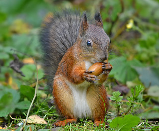 Oh noooooo.....! The squirrel season is open! Autumn. Finland.