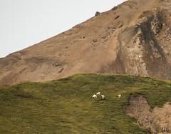 Dall Sheep . . . (Dr. Farnsworth) Tags: dall sheep mammal elevation predators white speck timber wolves alaska ak denali summer august2018