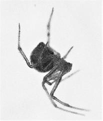 Black Widow Look-A-Like (Twila1313) Tags: spider blackwidow venom venomous bug insect dangerous sonynex5n minolta50mmf35macro legacyglass legacylens photoshopelements9