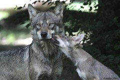 Loup européen et louveteau (Passion Animaux & Photos) Tags: loup europeen european wolf canis lupus