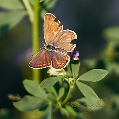 Gemeiner Bläuling (weiblich) (olga_rashida) Tags: hauhechelbläuling gemeinerbläuling commonblue argusbleu azurécommun azurédelabugrane polyommatusicarus schmetterling butterfly papillon