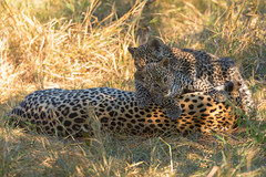 Roughhousing (mclcbooks) Tags: leopard leopards cubs babies animals wildlife cats okavangodelta botswana africa splashcamp kwara safari