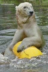 Felix - Nanu - Eisbären - AquaZoo Friesland/NL (ElaNuernberg) Tags: eisbärfelix eisbärnanu aquazoofriesland niederländischerzoo zoo zooanimals zootiere eisbär polarbear ursusmaritimus ourspolaire orsopolare ijsbeer isbjorn jääkaru niedźwiedźpolarny