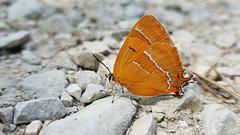 Nierenfleck-Zipfelfalter (Thecla betulae) (Andrelo2014) Tags: theclabetulae nierenfleckzipfelfalter zipfelfalter tagfalter butterfly s8 samsung