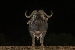 Buffalo at night - Zimanga - South-Africa (wietsej) Tags: buffalo zimanga southafrica animal night sony a7rii a7rm2 sel1018 1018