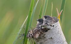 Tyran tritri // Eastern Kingbird (Alexandre Légaré) Tags: tyrantritri easternkingbird tyrannustyrannus bird oiseau animal wildlife nature nest nid tritri kingbird tyran nikon d7500