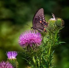 High Stepper (Portraying Life, LLC) Tags: dbg6 da3004 hd14tc k1mkii michigan pentax ricoh unitedstates butterfly closecrop handheld nativelighting hiddenlakegardens meadow thistle nectar