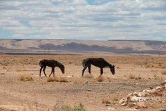 Wild West (velo_city) Tags: 2018 wildwest drought arizona nature wildhorses dehydration starvation animal desert mare foal explore