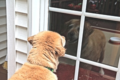 Prancer Seeing Her Reflection in the Window (hbickel) Tags: prancer reflection window deck indoors canont6i canon photoaday pad