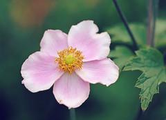 End of summer beauty (Through Serena's Lens) Tags: pink canoneos6dmarkii flora anemone bokeh dof summer blooming closeup pollen petals flower nature plant
