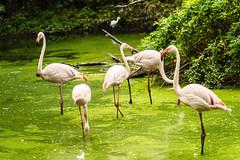 FENICOTTERI NELLO STAGNO    ----    FLAMINGOS IN THE POND (Ezio Donati is ) Tags: uccelli birds animali animals acqua water alberi trees verde green italia parcodelticinoprovinciadipavia natura nature
