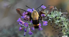 Hummingbird Moth_2242c (Porch Dog) Tags: 2018 garywhittington nikond750 nikkor200500mm backyard nature