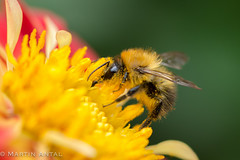 pollen feast (martinantal) Tags: pollen flower bee colourful macro world animal insect sony a580 sal100f28 dreams