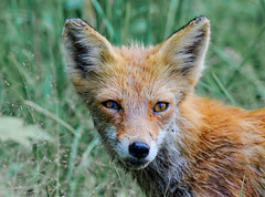 Pretty Me (dngovoni) Tags: redfox animal bombayhook delaware fox immature kit mammal summer wildlife