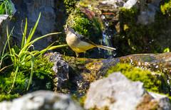 Grey Wagtail (pbr53) Tags: arundel england unitedkingdom gb wagtail greywagtail