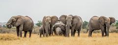 Classic defensive formation of elephants on the Mara (frankmetcalf) Tags: elephant maasaimara eastafrica savannah baby