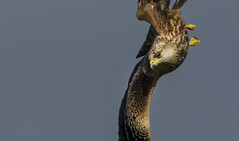 Kite (wild) - Menacing eyes (Ann and Chris) Tags: avian awesome amazing bird diving eyes eye flying hunting hunt birdofprey redkite impressive menacing kite predator raptor stunning unusual visceral wild wildlife