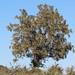 Dalbergia melanoxylon (African Blackwood)