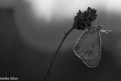 Black and white-2 (niekeblos) Tags: butterfly nature closeup macro canon60d light blackandwhite