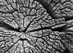 The passage of time (speech path girl) Tags: pattern texture weathered worn aged log wood woodgrain rings blackandwhite bw monochrome