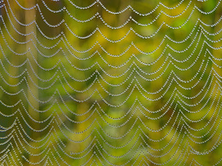 drops of dew and spiderweb