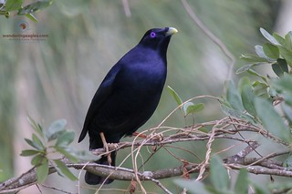 Male Satin Bowerbird