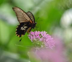 Papilio. (agnieszka.a.morawska) Tags: nikon helios butterflygarden flower benalmádena españa summer beyondbokeh bkhq bokehlicious boleh dof macro papilon motyl mariposa butterfly