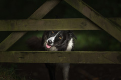 Travelled to the Other Side (JJFET) Tags: border collie dog sheepdog paddy herding