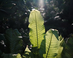 Botanical baptism (mnmfotofolio) Tags: foliage conestogahouse lancaster pennsylvania green sun light shadow texture leaf tropical sonya7ii