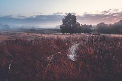 Sonnenaufgang in der Heide (stevepe81) Tags: alpha6300 sigma16mm14 nebel landschaft nature sonycamera outdoor westruperheide landscapephotography haltern spinnennetz heide sonyalpha lightroom landscape foggy natur sonyalpha6300 münsterland