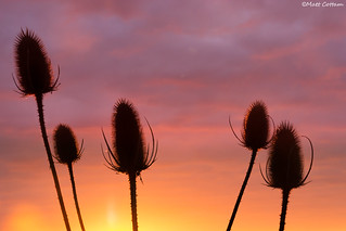 Thistle Sunrise