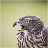 "Portrait of an errant goshawk • <a style=""font-size:0.8em;"" href=""http://www.flickr.com/photos/55250729@N04/44622868702/"" target=""_blank"">View on Flickr</a>"