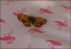 Fritillary butterfly (catb -) Tags: france rocamadour insect macro butterfly fritillary