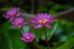 Waterlilies (Changer4Ever) Tags: nikon d750 15006000mmf5063 waterlily waterlilies flower plant nature life water closeup macro dof depthoffield color colorful bokeh