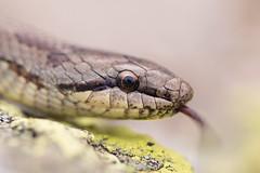 Smooth Snake - Coronella austriaca (Gabriele Carabus Motta) Tags: snake reptile herping alps mountain animal nature italy wildlife macro