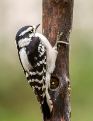 Loyalty can be..... (114berg) Tags: 19september18 female downy woodpecker empty bark butter feeder geneseo illinois