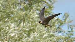 Hobby, with prey (KHR Images) Tags: hobby juvenile falcosubbuteo falcon flying hunting inflight withprey withdragonfly fendraytonlakes rspb cambridgeshire fens wildlife nature nikon d500 kevinrobson khrimages