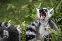 Ring Tailed Lemur yawning (Darwinsgift) Tags: woburn animals nikon d850