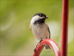 Chickadee (farradhim) Tags: nature avian bird