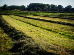 Jeden Tag ein Foto (77) (fotodesignscherlack) Tags: wiese felder gras grün natur landschaft landscape landwirtschaft norddeutschland schleswigholstein rasen wwwfotodesignscherlackwordpresscom scherlack olympusomdem10markii olympus 45mm mzuiko45mm festbrennweite bokeh schärfentiefe tiefenschärfe unschärfe jedentageinfoto 365tageprojekt 365